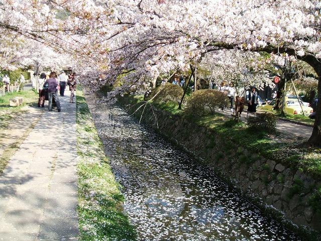 哲学の道 小川に浮かぶ桜のはなびら