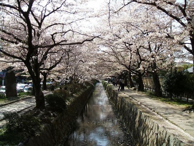 哲学の道 桜のトンネル